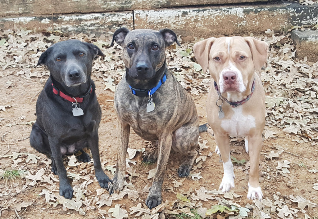 Cassie's 3 dogs in the backyard and looking at the camera. Molly is a gray Lacy. Cruz is a brindle pit bull. Zoey is a blonde pit bull.